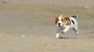 Beagle filhote e suas características